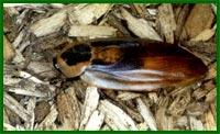 американские тараканы.