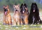 Группа 1 FCI (овчарки и пастушьи собаки, кроме